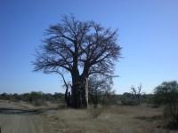 http://www.aixpoz.com/sites/pierrebruneau33/medias/images/galerie_21/Baobab.JPG