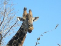 http://www.aixpoz.com/sites/pierrebruneau33/medias/images/galerie_21/Girafe.JPG