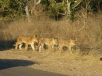 http://www.aixpoz.com/sites/pierrebruneau33/medias/images/galerie_21/Lions.JPG